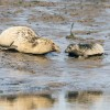 Pupping success for the Tees seals